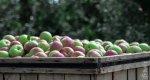 owoce, jabłka